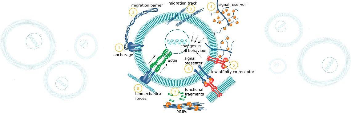 Mechanisms of ECM function - antibodies-online.com