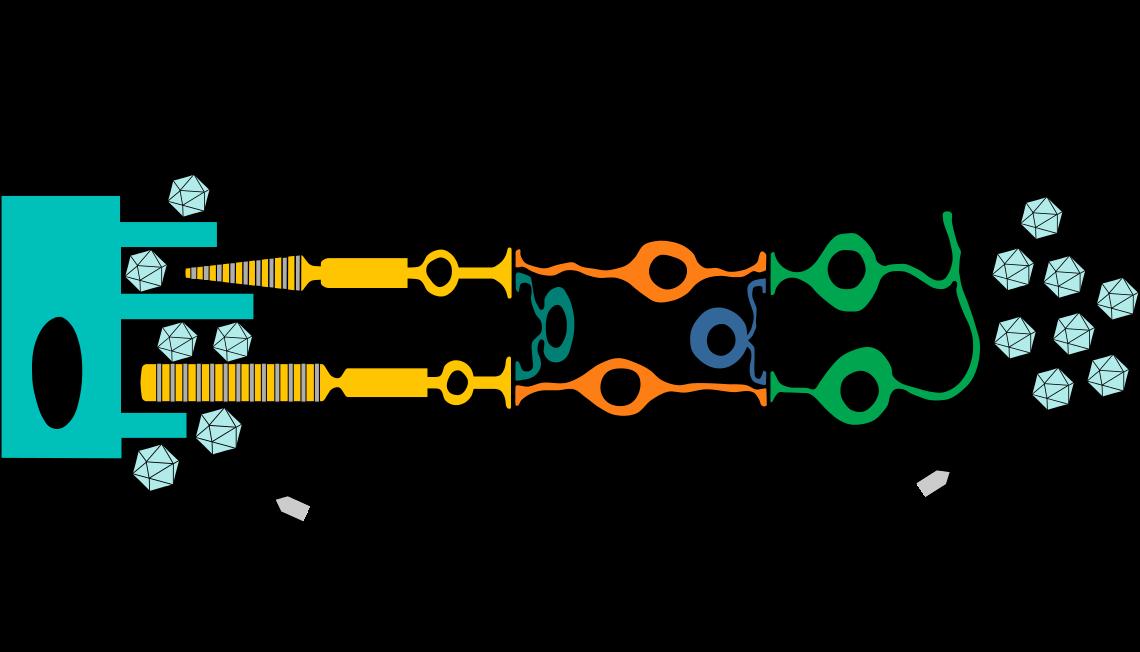 Représentation schématique de la rétine et du schéma d'expression des gènes rétiniens. Les gènes pour lesquels des approches de thérapie génique sont en cours de test clinique sont indiqués en gras. EPR : épithélium pigmentaire rétinien.