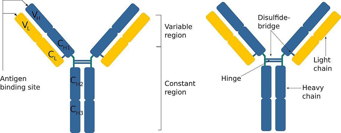 A gauche : Structure schématique d'un anticorps IgG. Chaque molécule d'anticorps est constituée de deux chaînes lourdes (bleu) et de deux chaînes légères (jaune), reliées par des ponts disulfures. Ceux-ci forment également la région dite charnière qui relie les deux chaînes lourdes. À droite : Composition des chaînes lourdes et légères. Les chaînes lourdes et légères sont composées de domaines individuels. Les chaînes lourdes et légères comprennent des domaines constants (CL, CH) et variables (VL, VH). Les domaines variables des deux chaînes déterminent la spécificité du site de liaison de l'antigène. Les régions constantes de la chaîne lourde déterminent la classe d'anticorps à laquelle l'anticorps appartient.